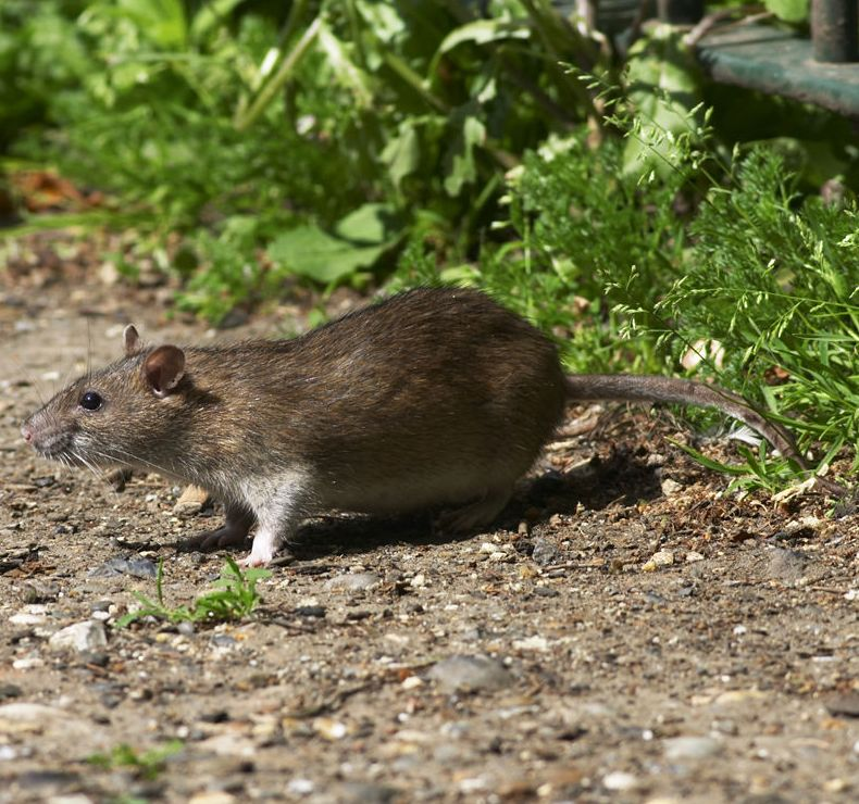 Trampas mecánicas para la eliminación de roedores en Tarragona