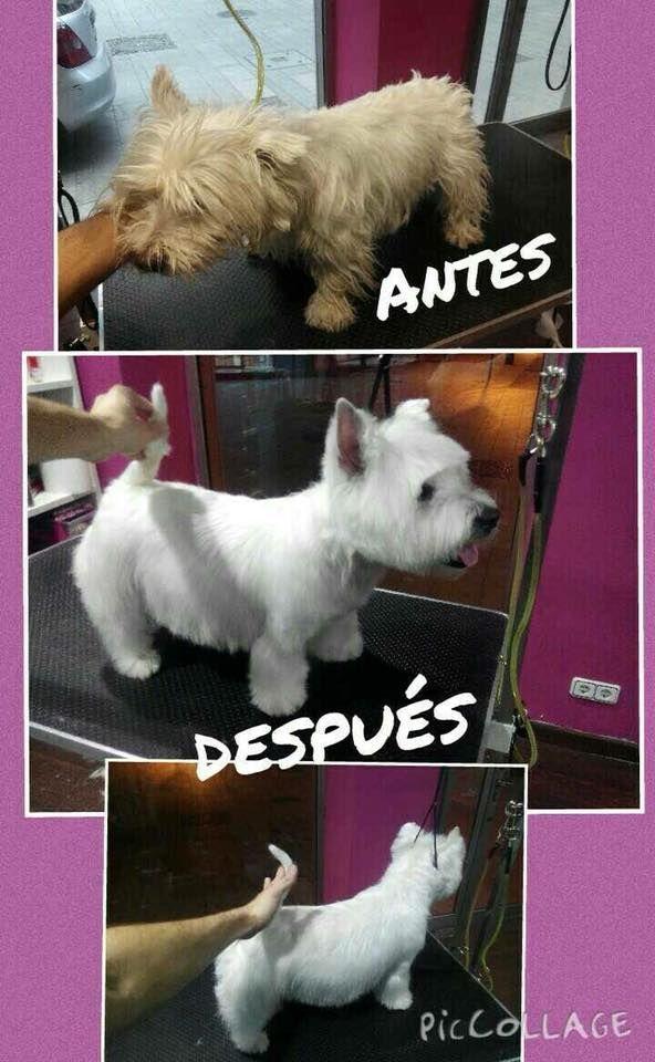 Antes y después de Westy. Es un arreglo hecho por nuestro peluquero Christian. Parece mentira que sea el mismo perro!! ( pero lo es). Si buscas calidad no dudes en venir a vernos