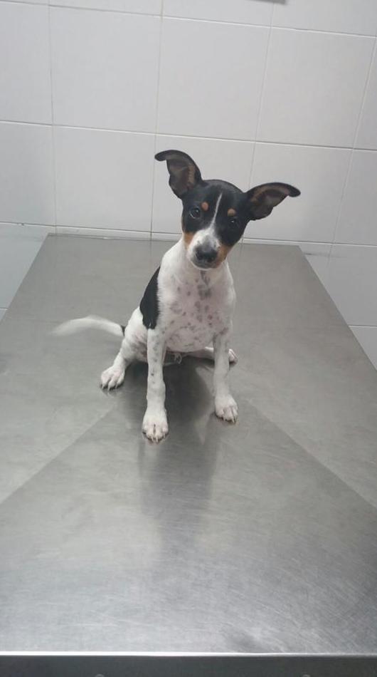 Super importante una correcta primovacunación.El otro día vino Duc a poner su tercera vacuna de cachorro.