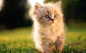 Tienda de gatos: Servicios de Cuore Tienda de Animales