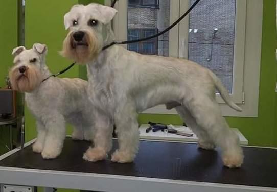 Perros con corte pelo realizado en nuestra peluquería