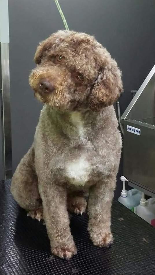 Foto 2 de Academias de peluquería canina y felina en Carballo | Perruqueria Canina Milú