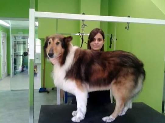 Arreglo comercial y de exposición para perros