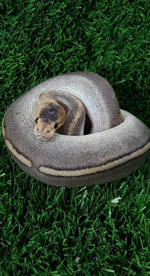 Python Regius champañe