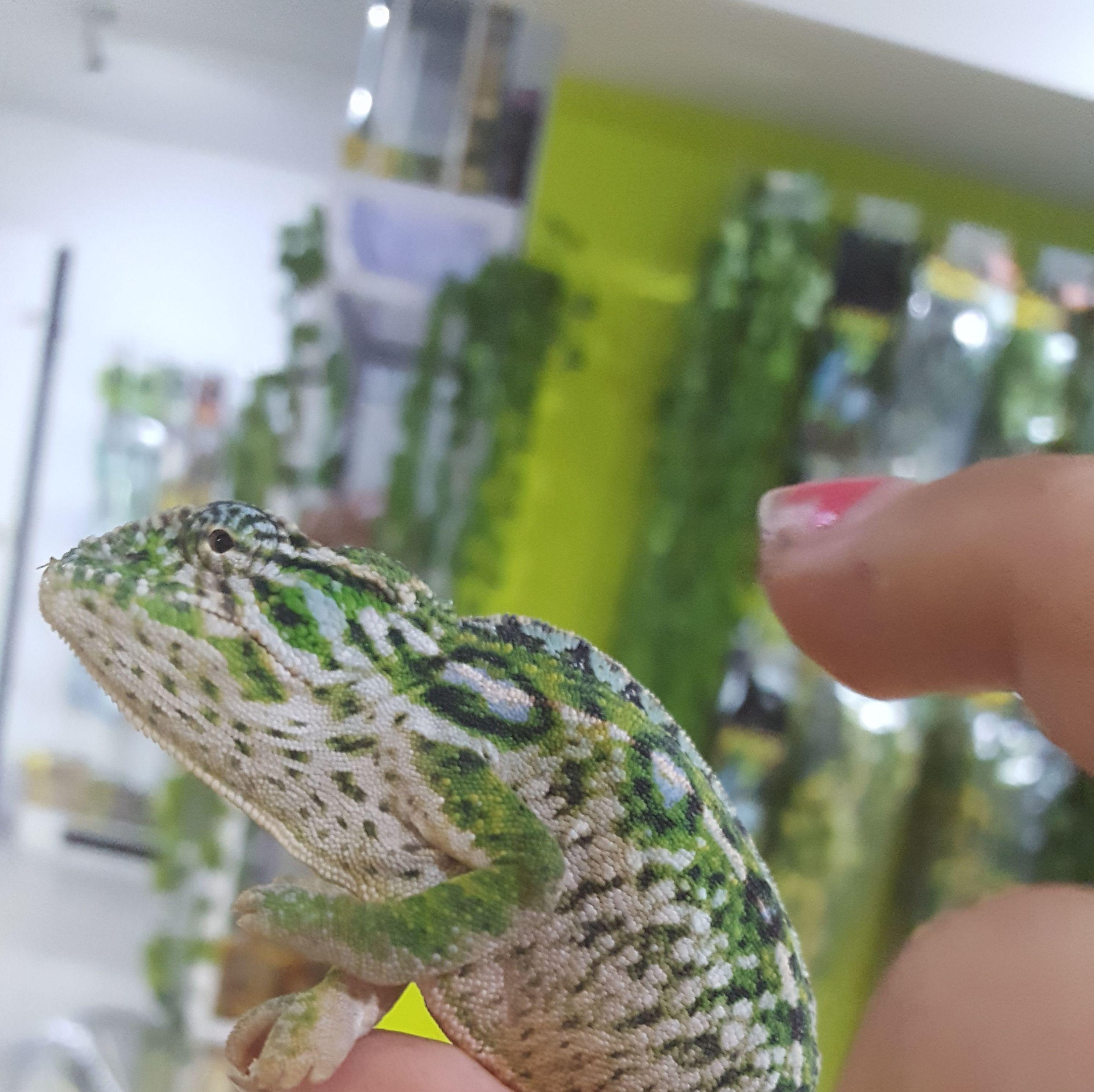 Furcifer Lateralis