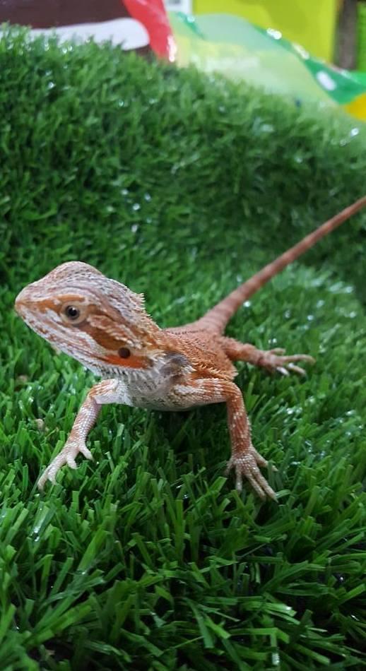 Pogona Vitticeps cría