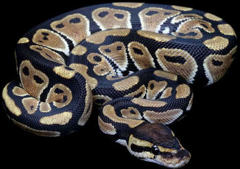 Python Regius hembra nominal tamaño juvenil