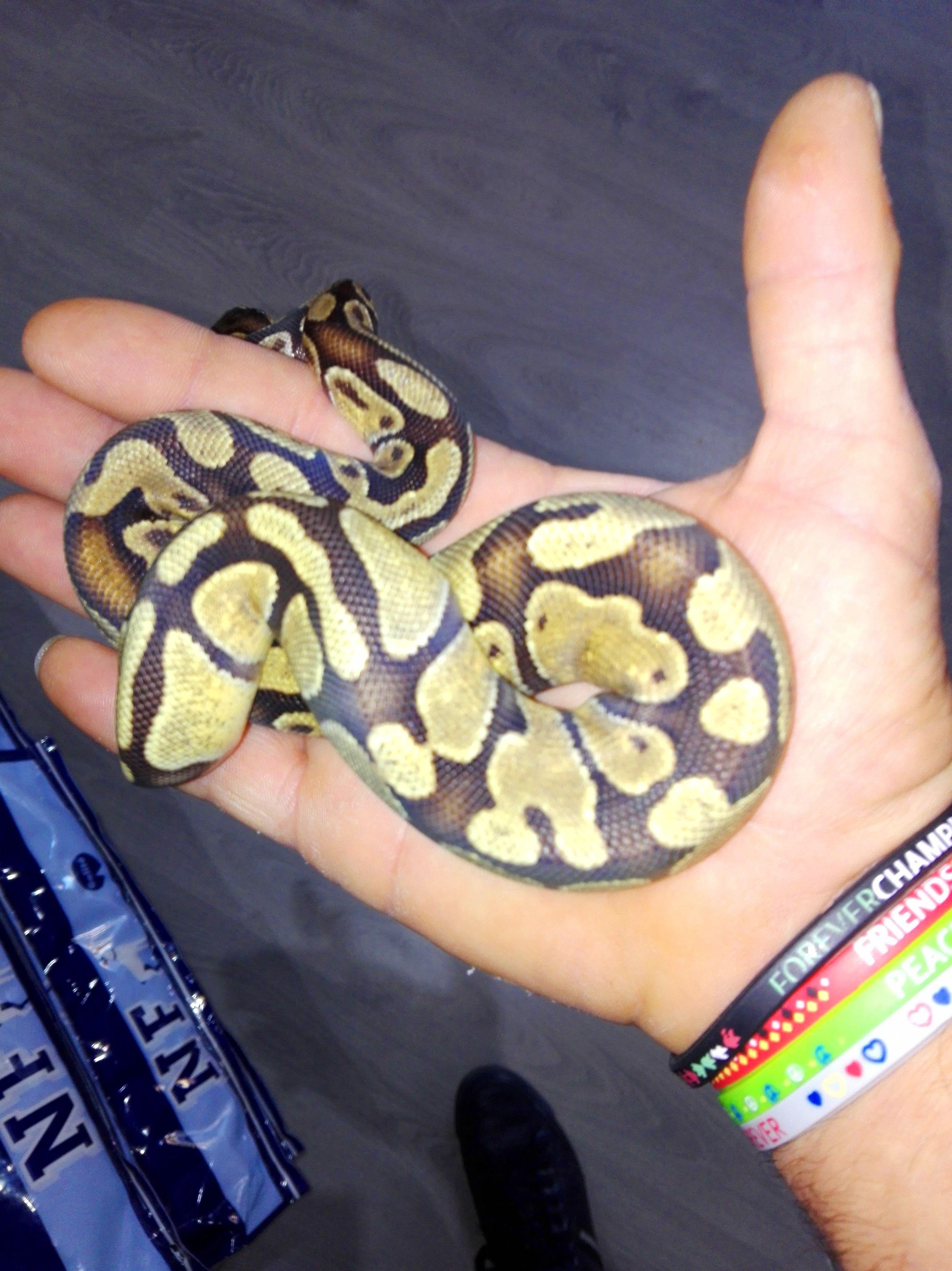 Python regius engi