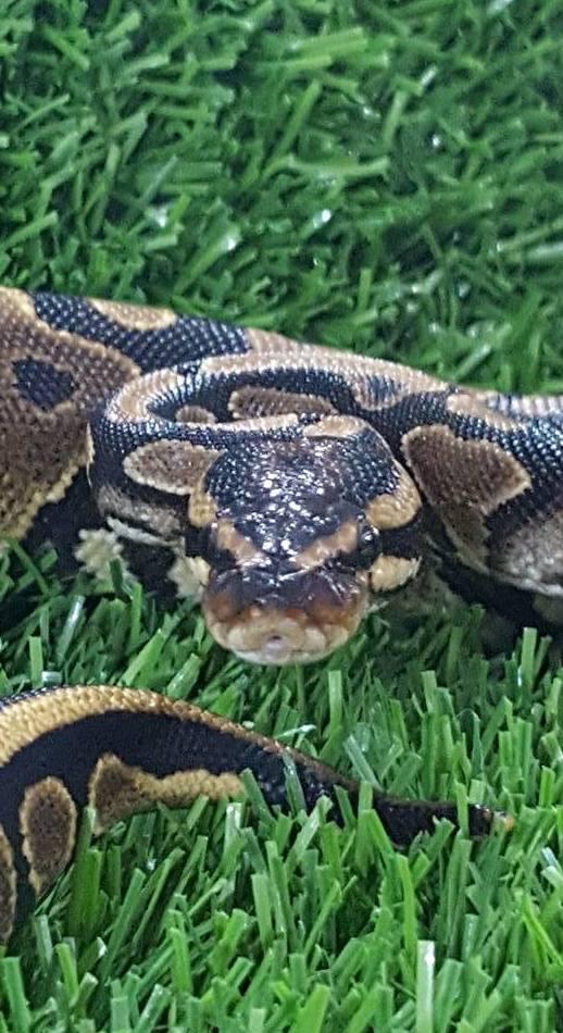 Python Regius nominal juvenil