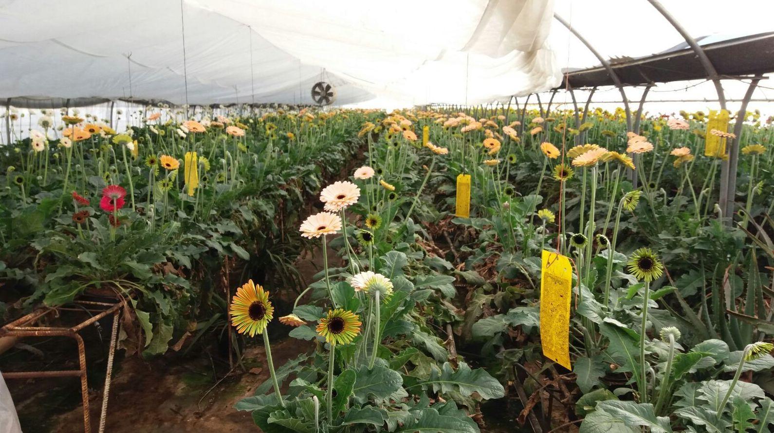 Flor natural cortada Valencia para importación y distribución. Cultivos propios