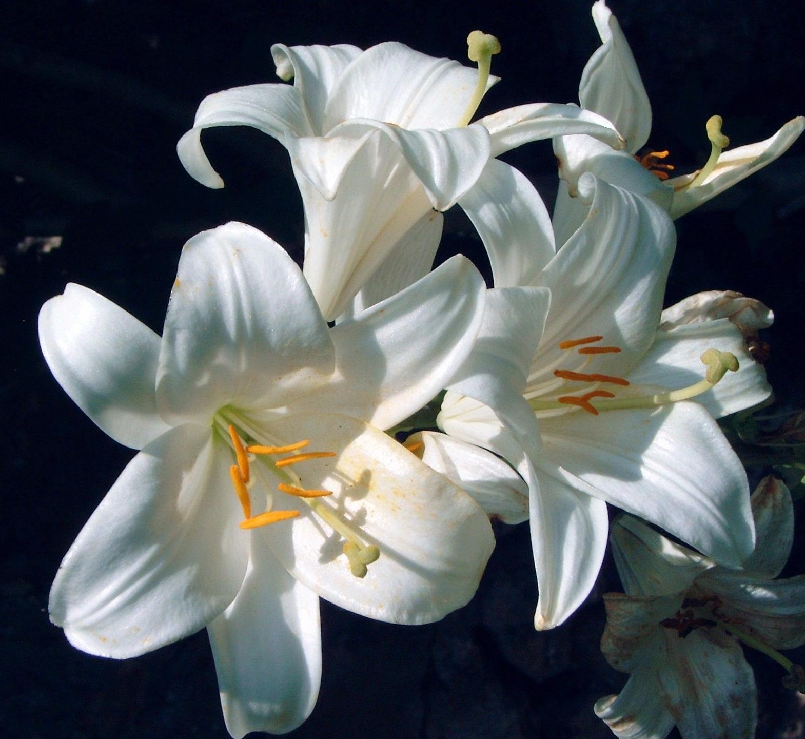 Lilium: Productos  de Navaflor