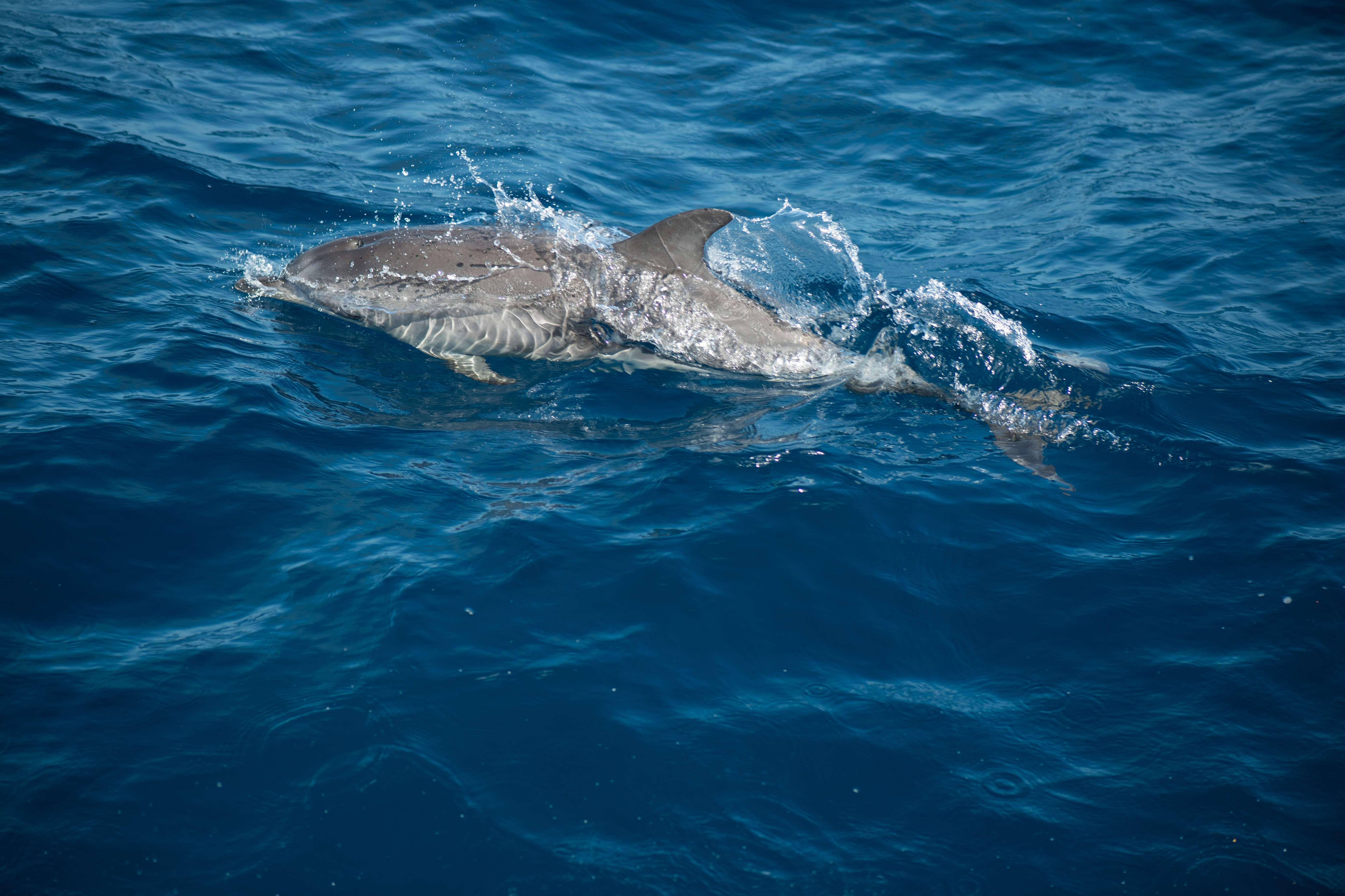 Avistamiento de cetáceos en Gran Canaria