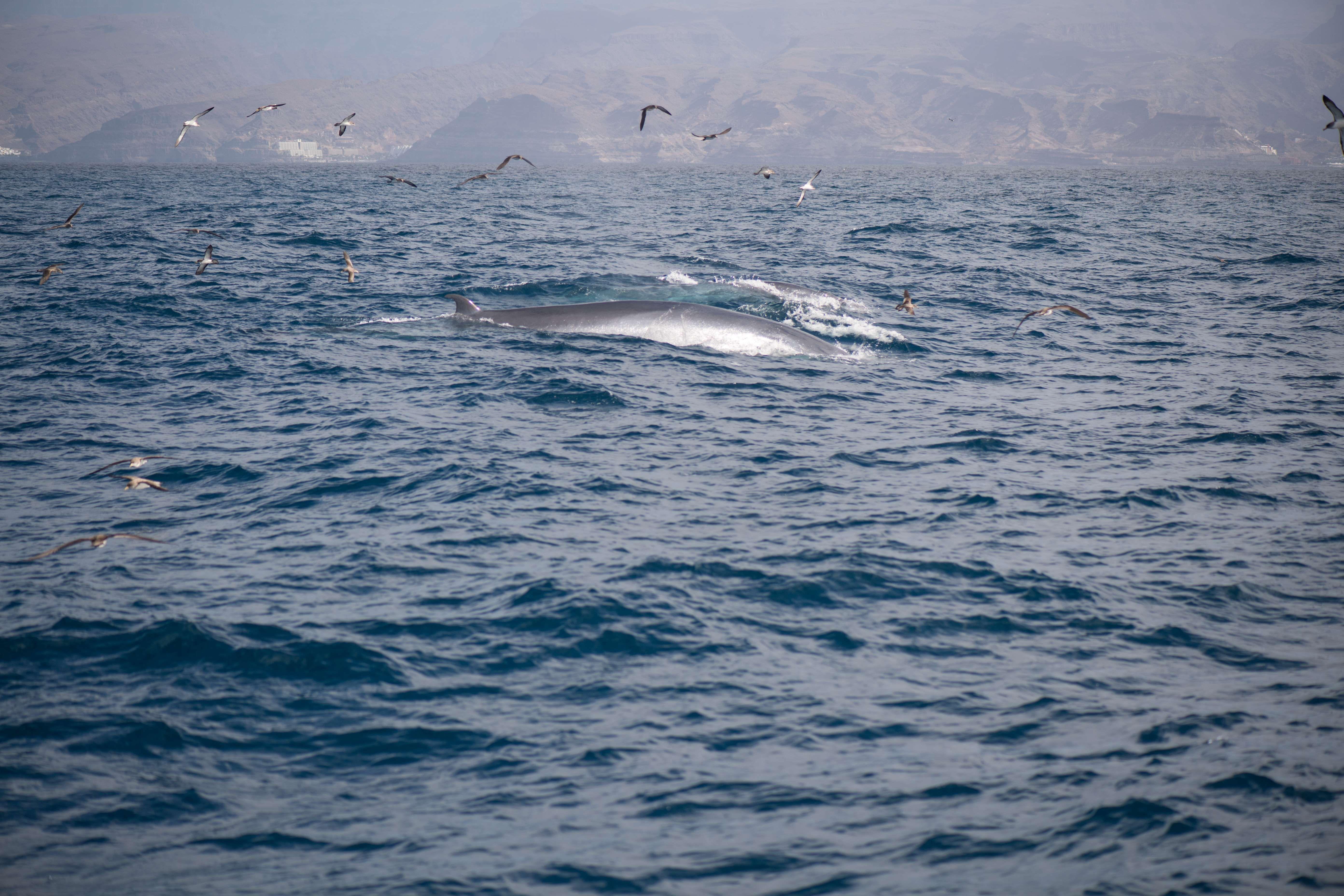 Barco para avistamiento de cetáceos en Gran Canaria