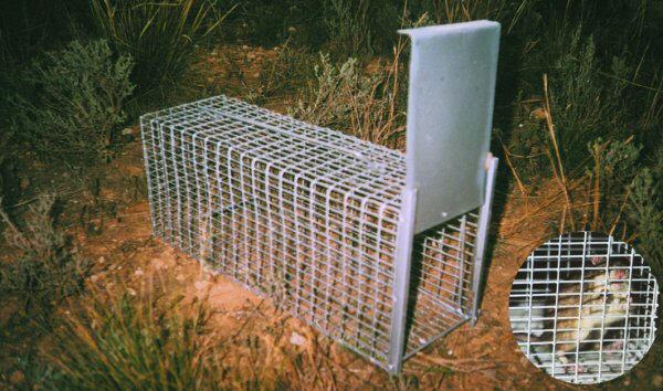 Jaula trampa para ratas