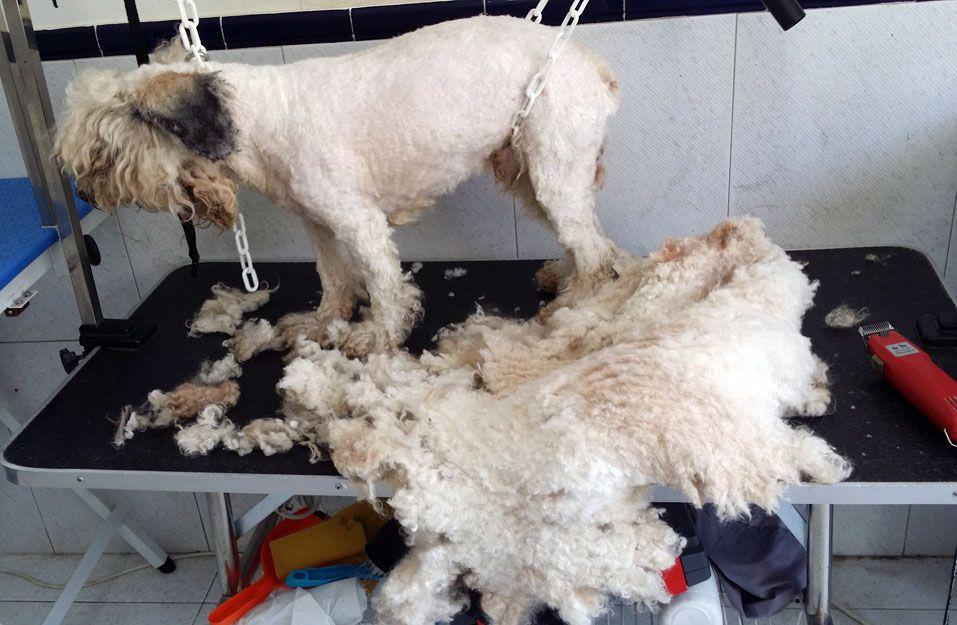 Cursos de peluquería canina en Valencia