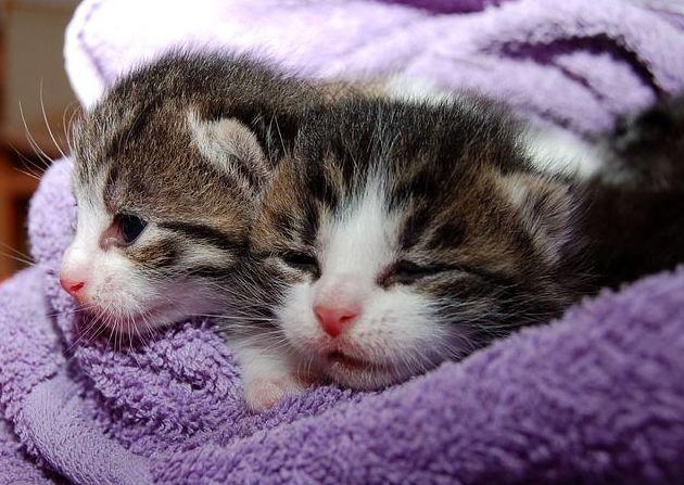 vacunacion de gatos