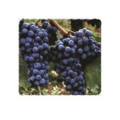 Pinot Noir: Productos de Viveros Vila