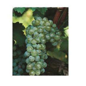 Sauvignon Blanc: Productos de Viveros Vila
