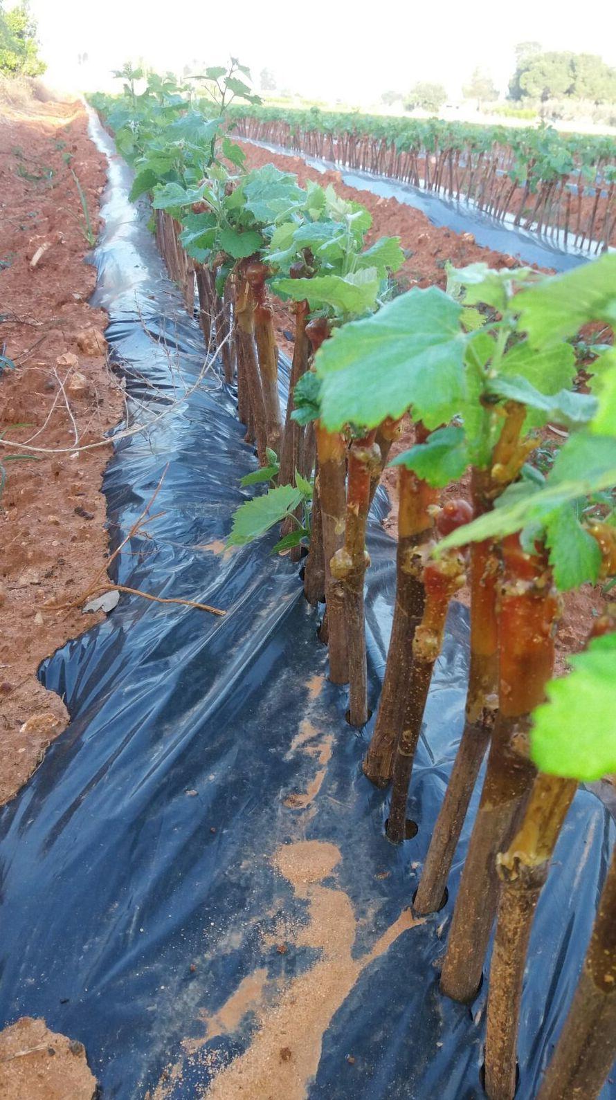 Foto 25 de Viveros agrícolas y forestales en Aielo de Malferit | Viveros Vila