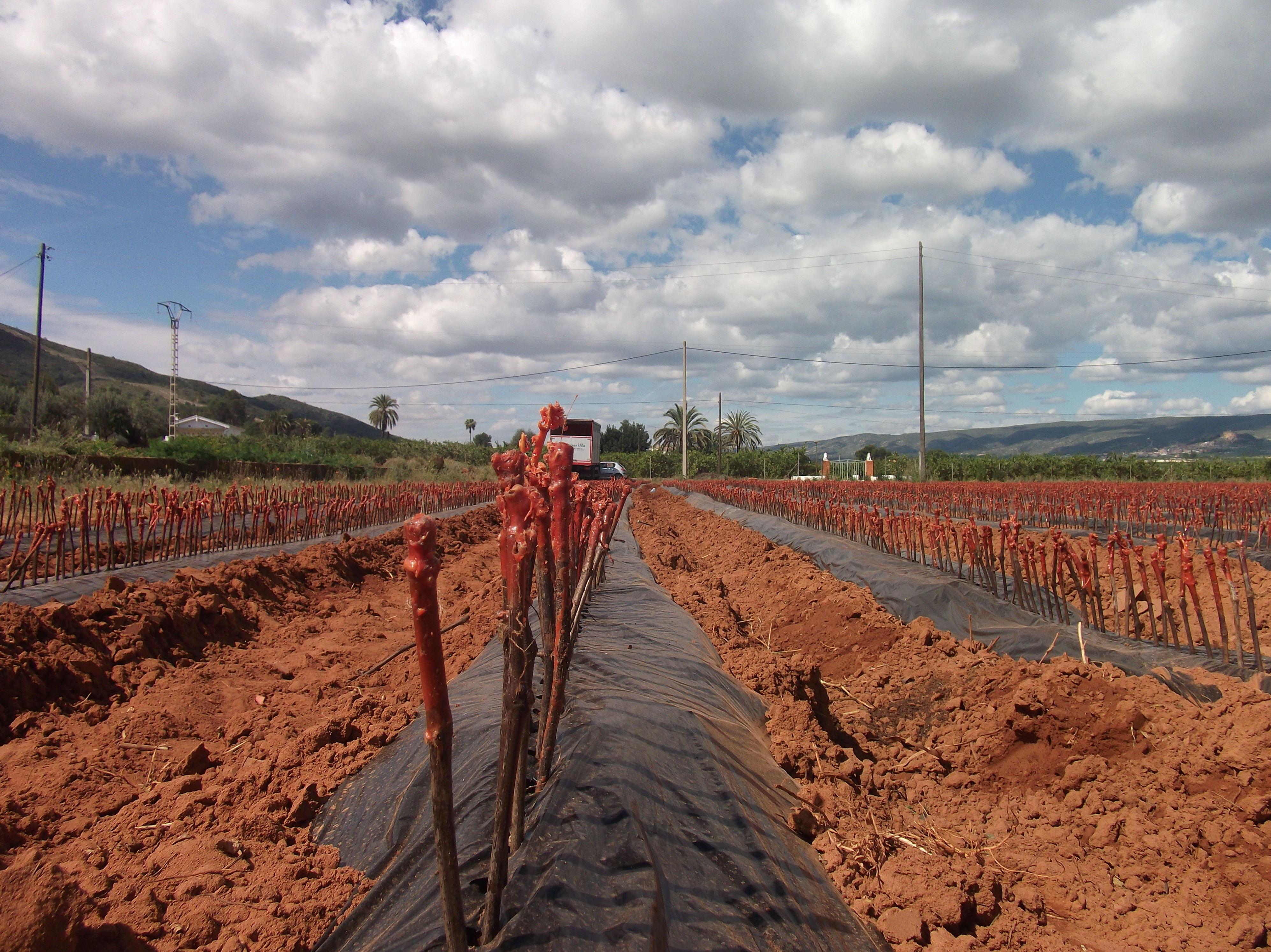 Foto 24 de Viveros agrícolas y forestales en Aielo de Malferit | Viveros Vila