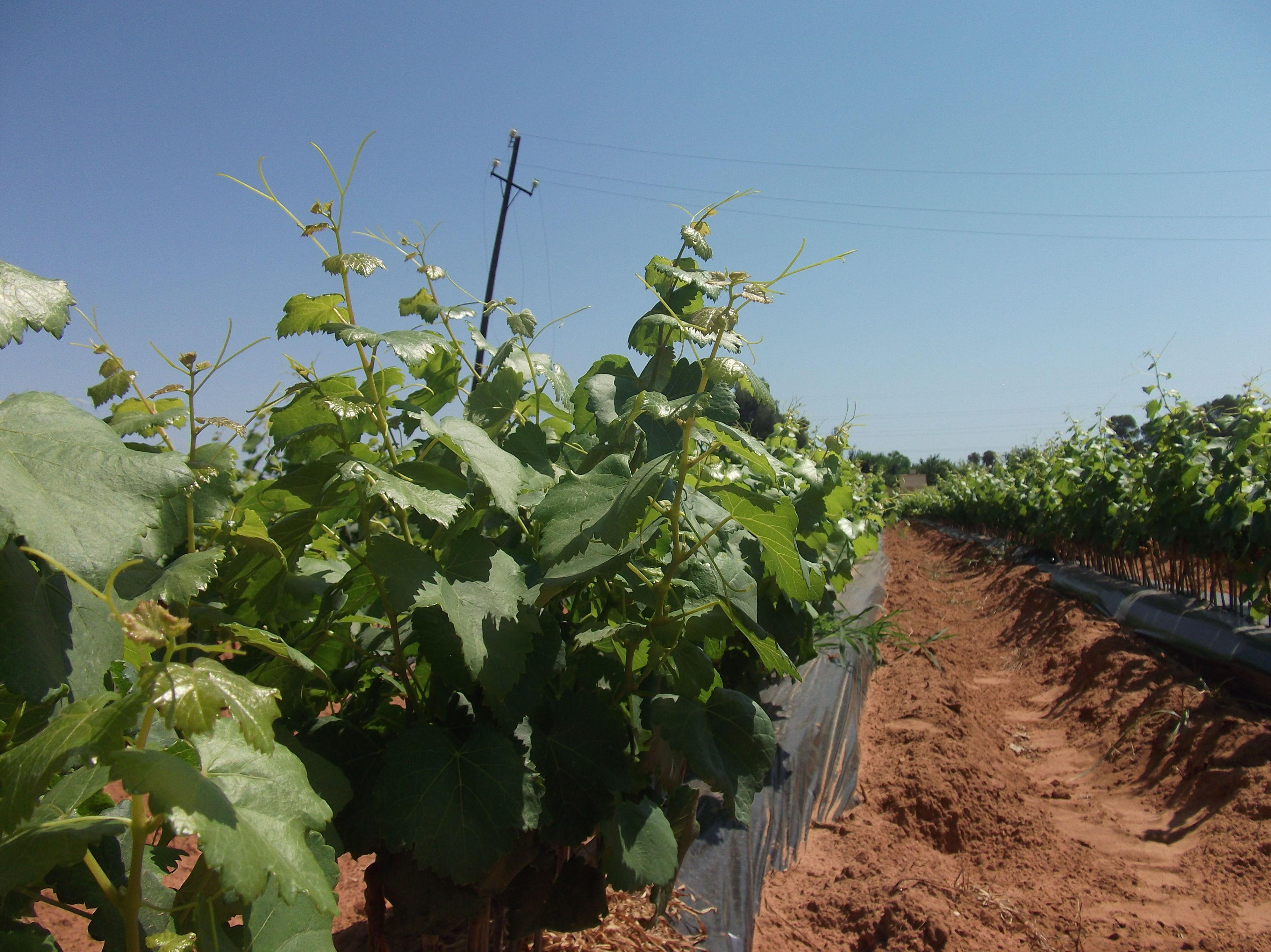 Foto 29 de Viveros agrícolas y forestales en Aielo de Malferit | Viveros Vila