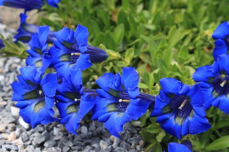 Genciana - Flor de Bach : Terapias de Terapias Alternativas Isabel