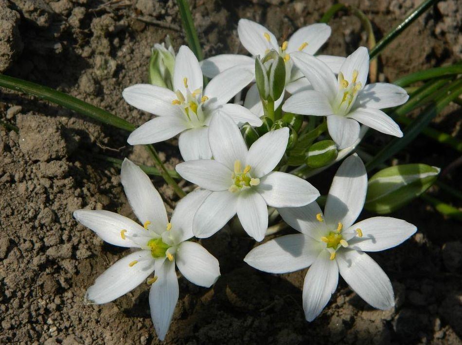 Terapia con Flores de Bach: Estrella de Belén