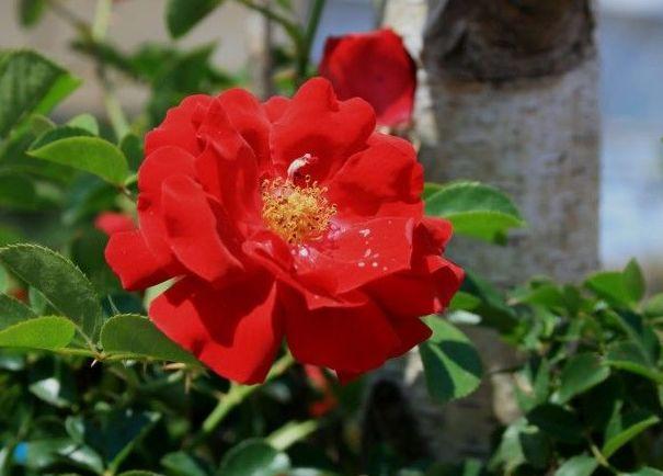 Rosa  silvestre - Flor de Bach : Terapias de Terapias Alternativas Isabel