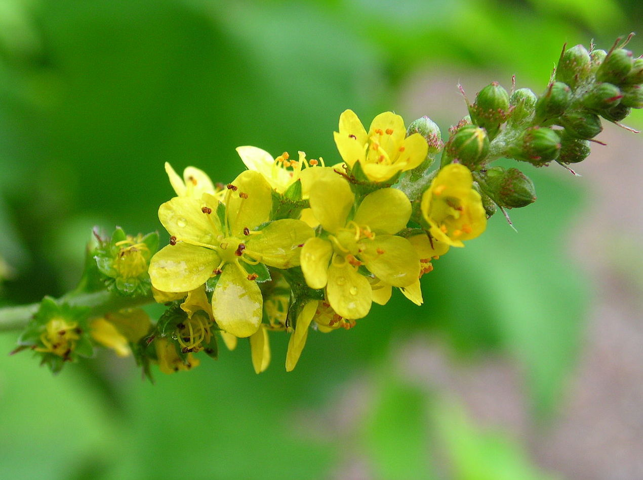Agrimonia - Flor de Bach : Terapias de Terapias Alternativas Isabel
