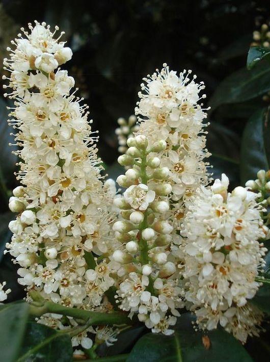 Castaño blanco - Flor de Bach  : Terapias de Terapias Alternativas Isabel