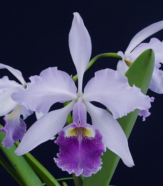 """""""Psiquis"""" - Orquídea amazónica  : Terapias de Terapias Alternativas Isabel"""