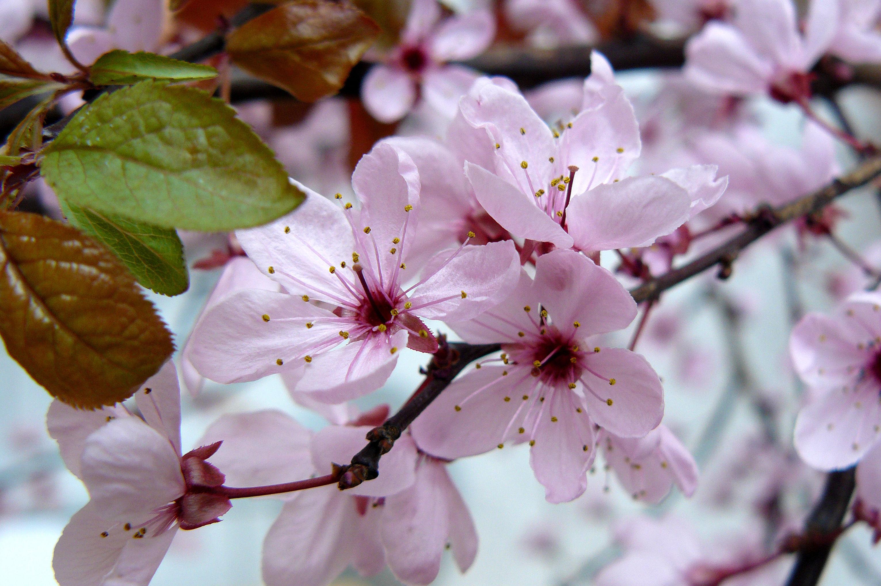 Cerasifera - Flor de Bach  : Terapias de Terapias Alternativas Isabel