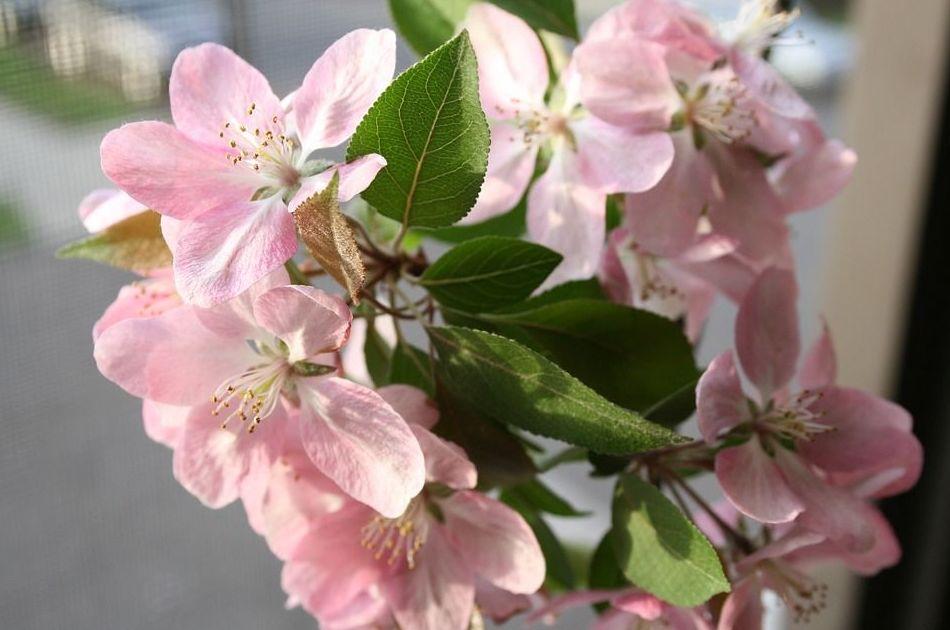 Manzano silvestre - Flor de Bach : Terapias de Terapias Alternativas Isabel