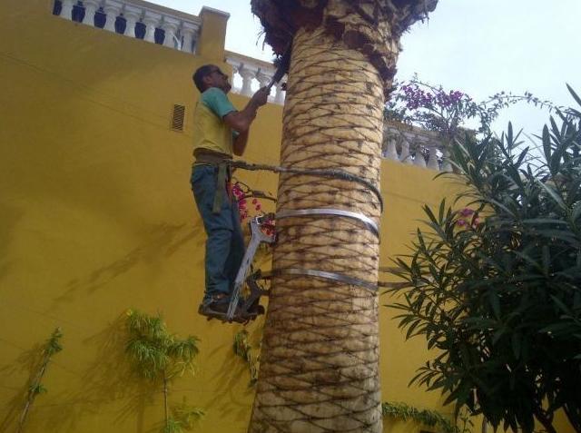 Fumigación y limpieza de mosca blanca en palmeras