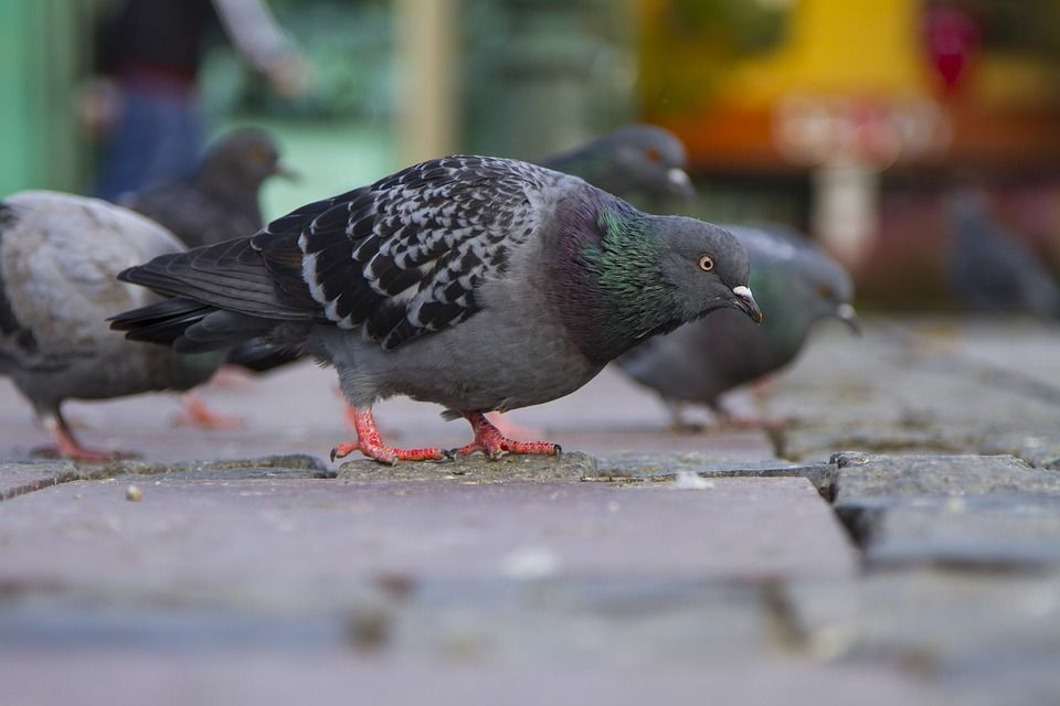 Control de aves: Servicios de Click Plagas
