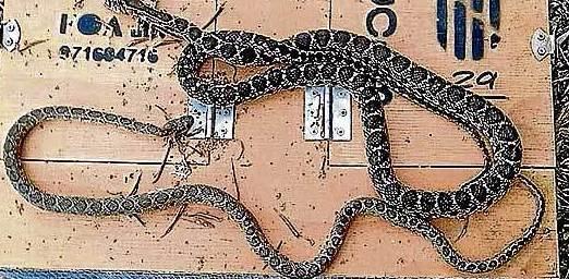 Serpientes de herradura en Mallorca