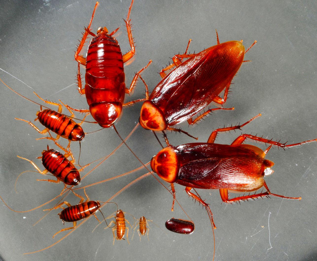 Periplaneta Americana; cucaracha roja