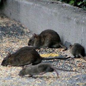 Eliminación eficaz de roedores en todo tipo de establecimientos, negocios y