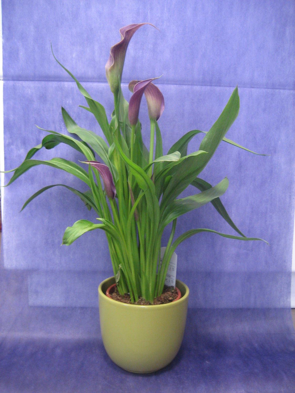 Cala de color: Nuestras flores de Bouquet Flores y Plantas