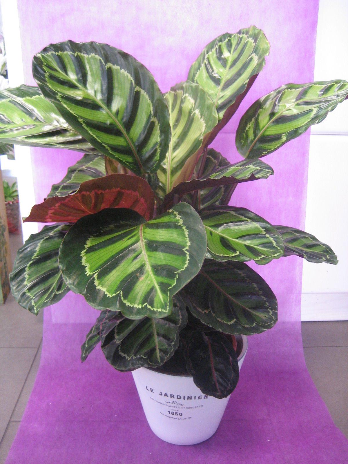 Calathea rosapicta nuestras flores de bouquet flores y - Plantas con flor de interior ...