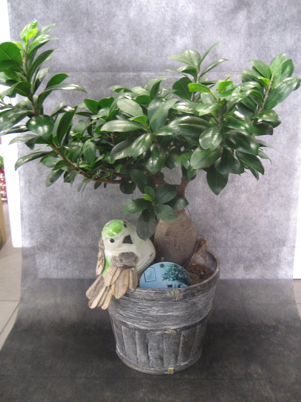 Ficus : Nuestras flores de Bouquet Flores y Plantas
