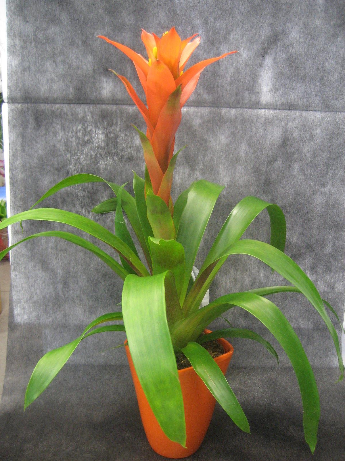 Guzmania Orange: Nuestras flores de Bouquet Flores y Plantas