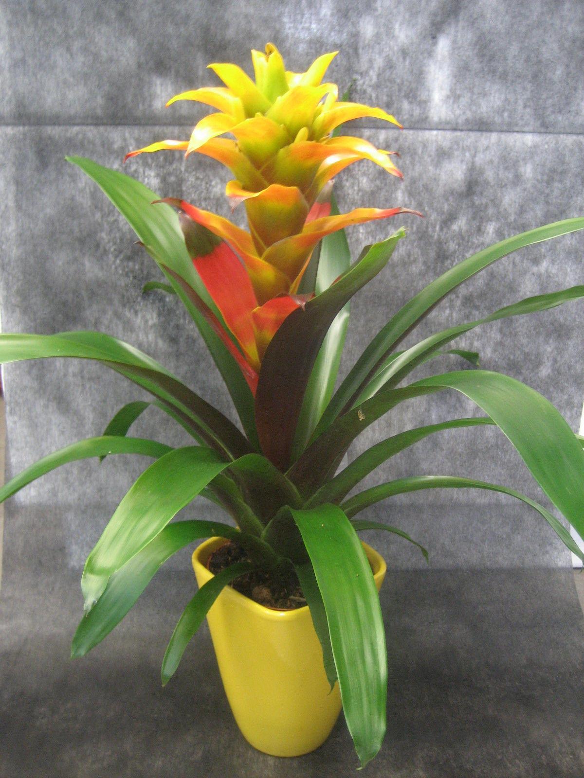 Guzmania Soledo: Nuestras flores de Bouquet Flores y Plantas