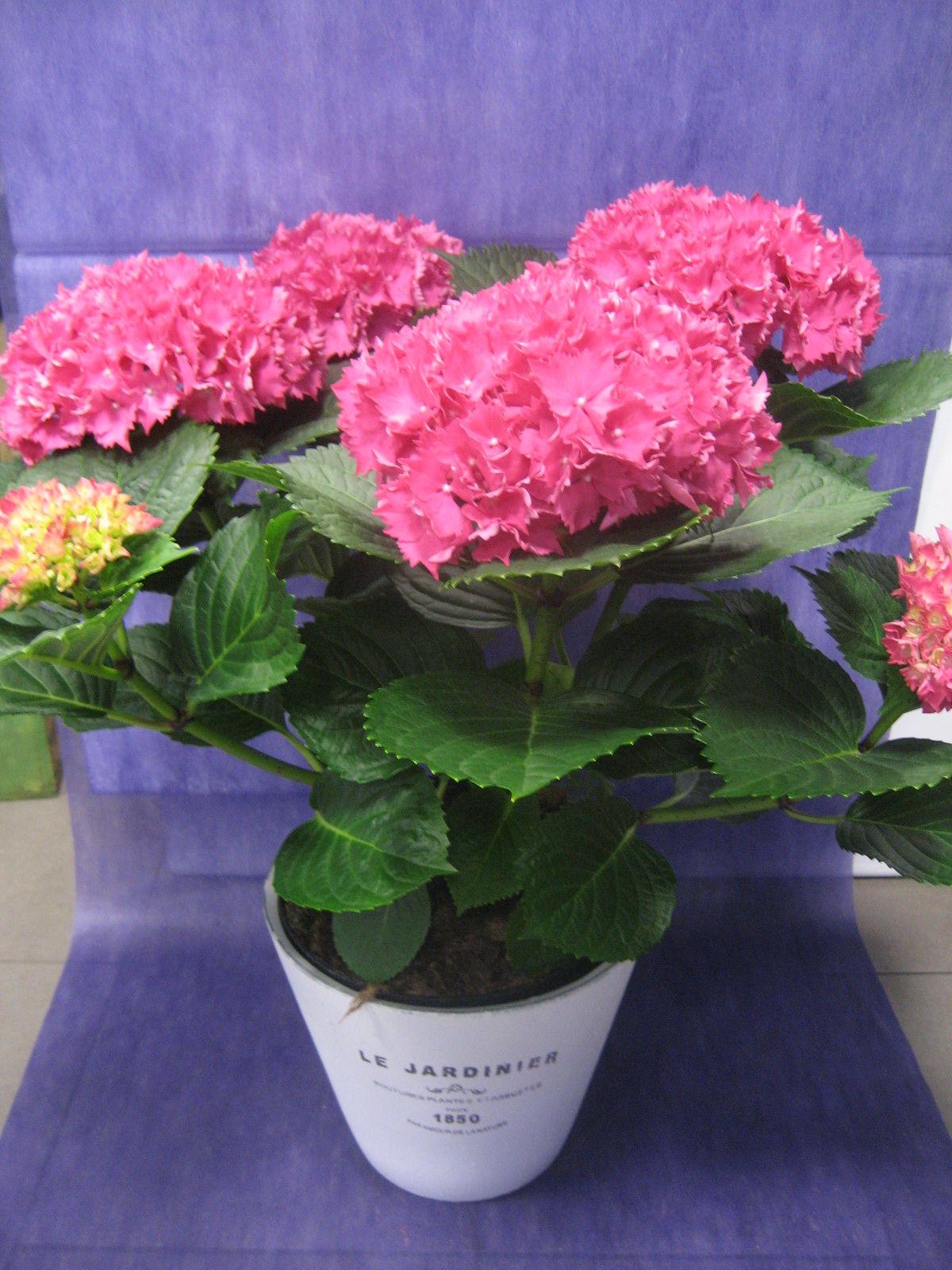 Hortensia Rosa Fucsia: Nuestras flores de Bouquet Flores y Plantas