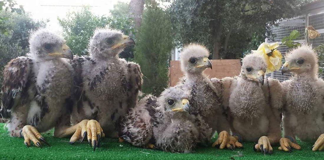 Cría de Águilas Harris en Alcázar de San Juan
