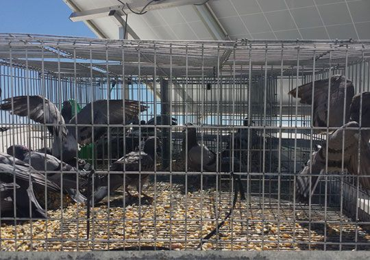Control de plagas de palomas en Alcázar de San Juan