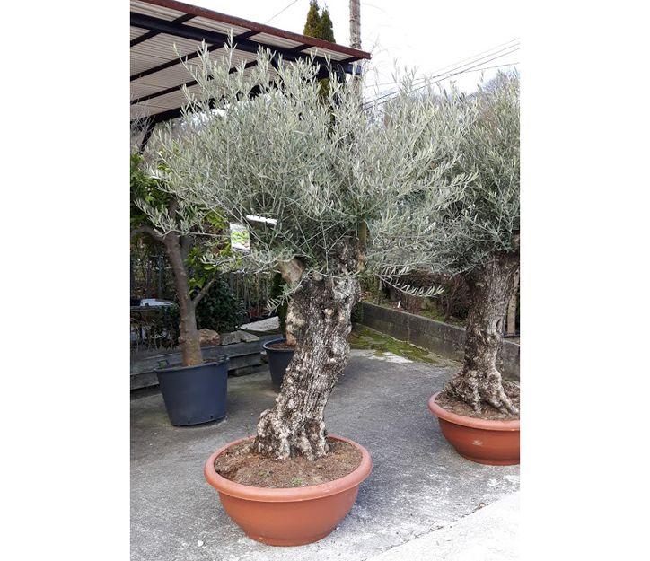 Comprar olivos en Vizcaya