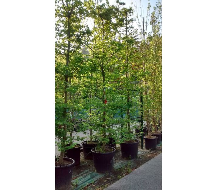 Árboles para jardines en Getxo