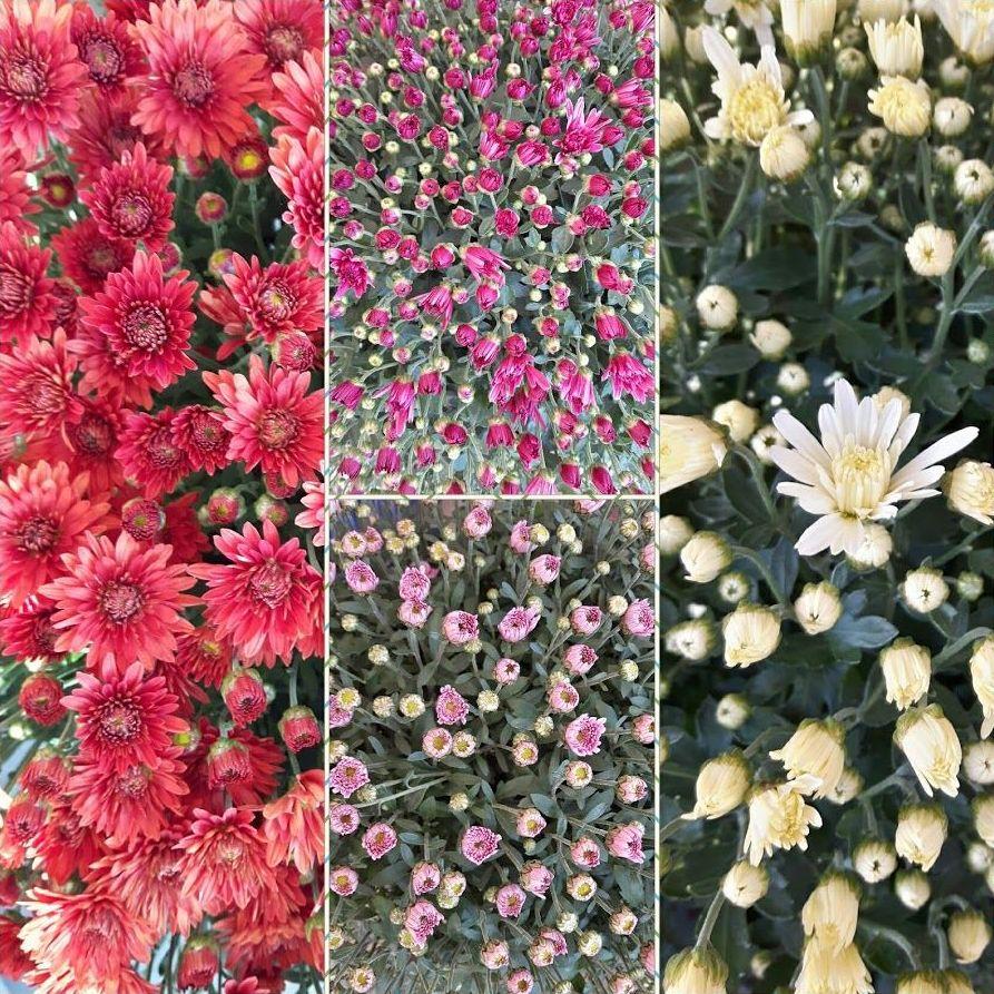 Crisantemos de colores en Getxo