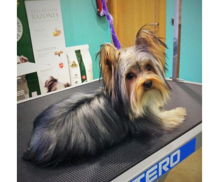 Narval Mascotas |Baño y arreglo para Yorkshire Terrier